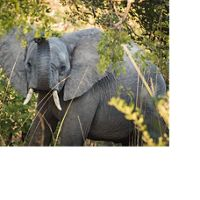 Elephants in Ngoma Forest at Kafue National Park, Zambia. The Conservancy is working with the people of Zambia to ensure the protection of elephants by strengthening anti-poaching security.