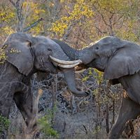 A pair of African Elephants lock tusks as they battle over territory in the South African bush.
