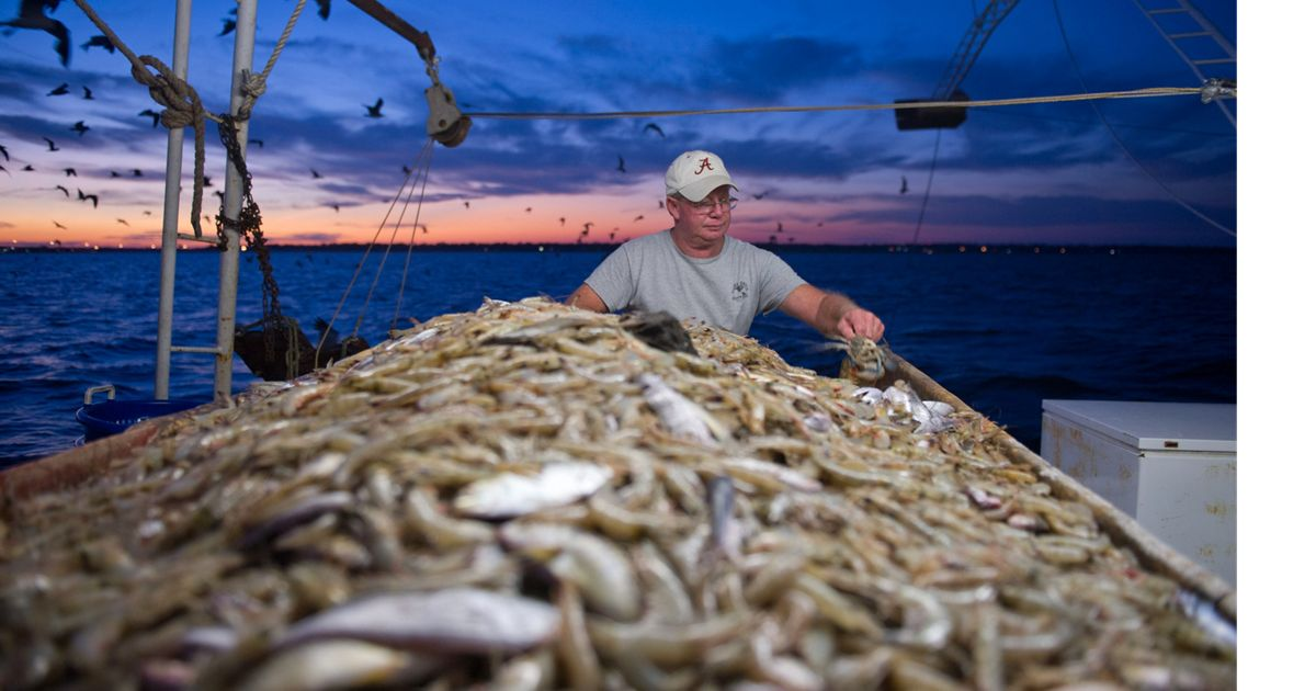 A shrimp fisherman sorting his catch off the Alabama coast of the Gulf of Mexico.