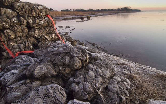 Restoring oyster reefs, as volunteers did at this site in Alabama, can reduce the energy of waves before they hit the shore.