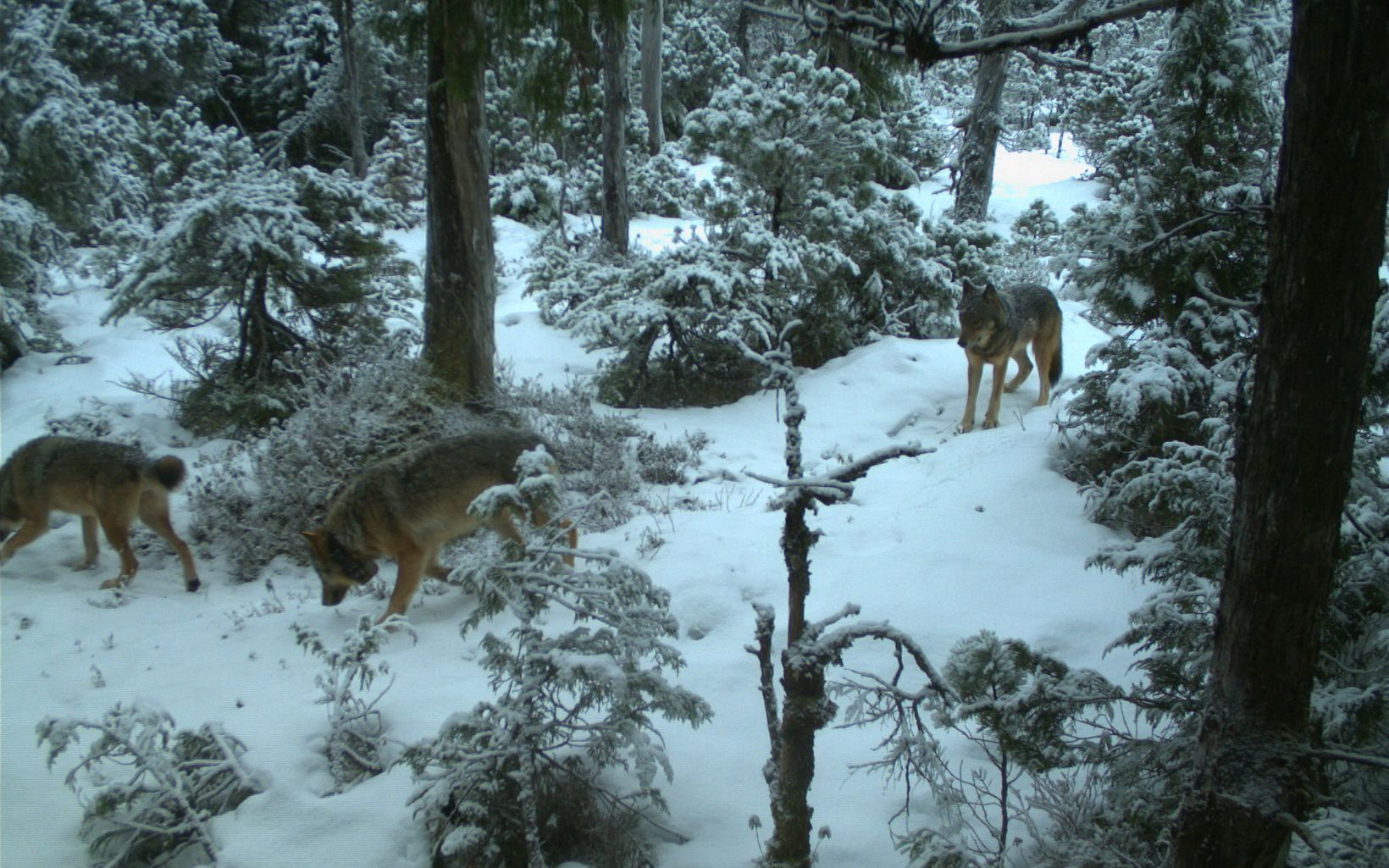 Collared wolf in the snow captured on a trail camera on Prince of Wales Island in Alaska.