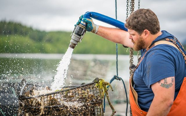 A shellfish grower cleaning his crop.