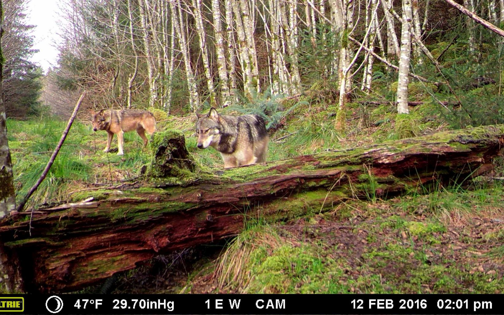 Trail cam image of wolves.