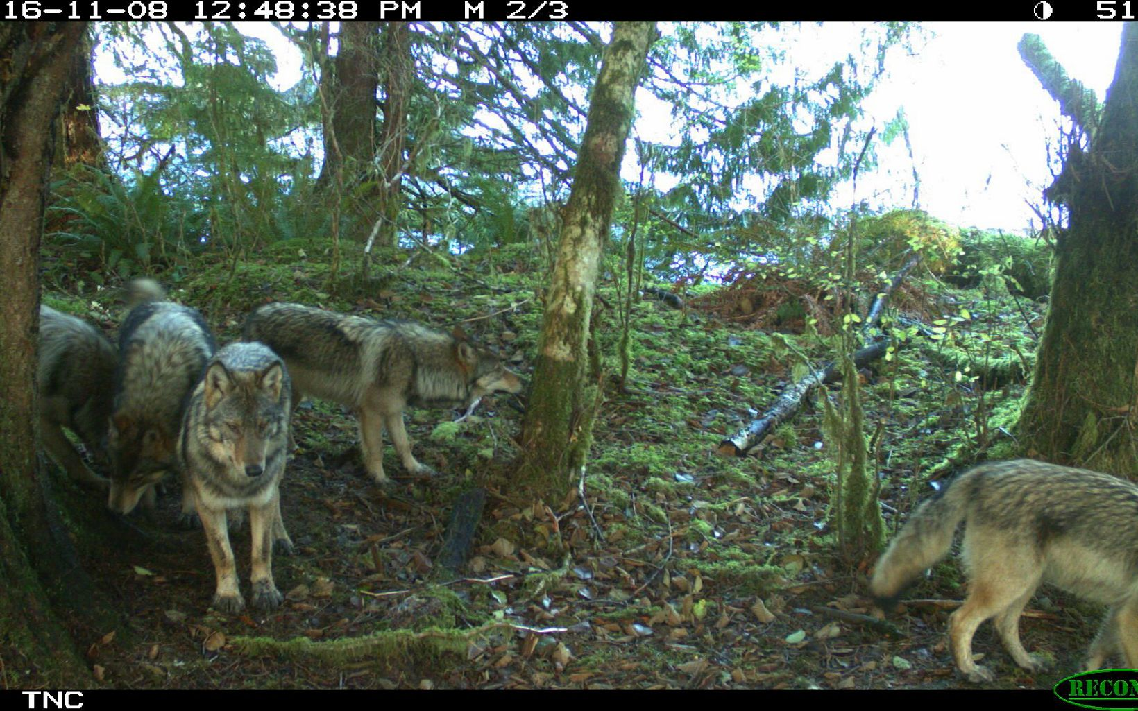 Group of wolves caught on a trail camera on Prince of Wales Island in Alaska.
