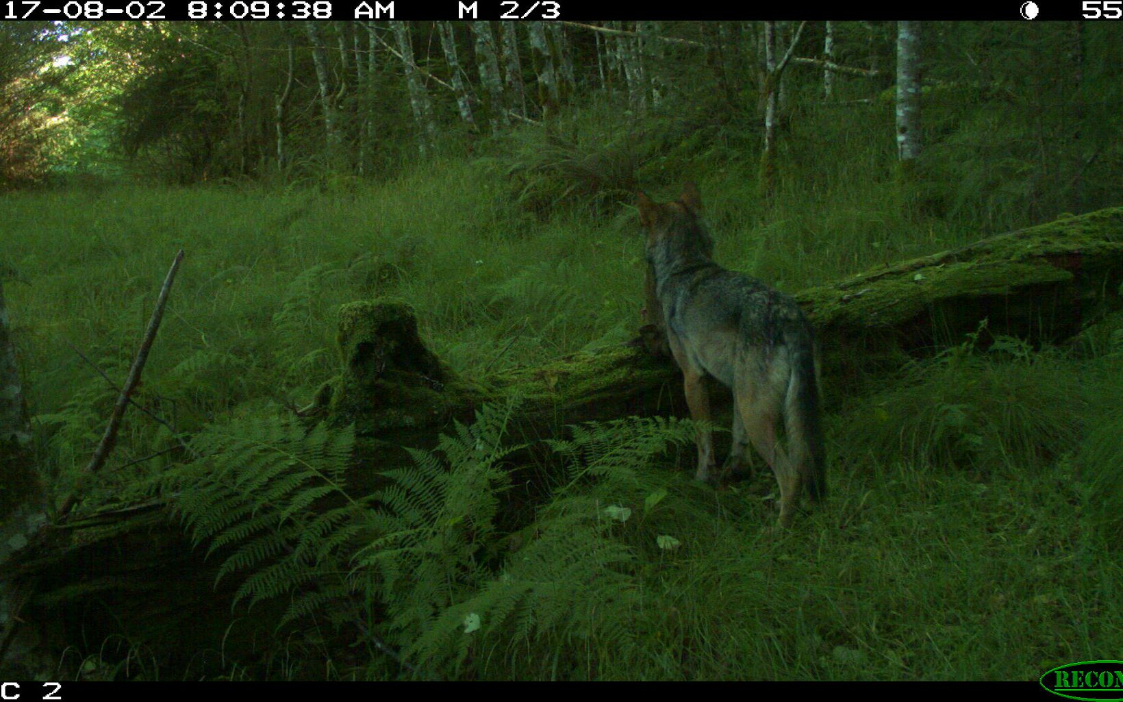 Wolf with prey captured on a trail camera on Prince of Wales Island in Alaska.