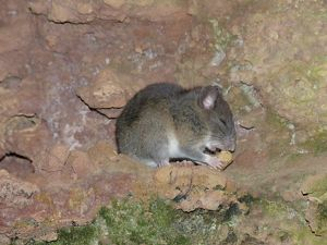The state listed endangered Allengheny woodrat nibbling on some food.