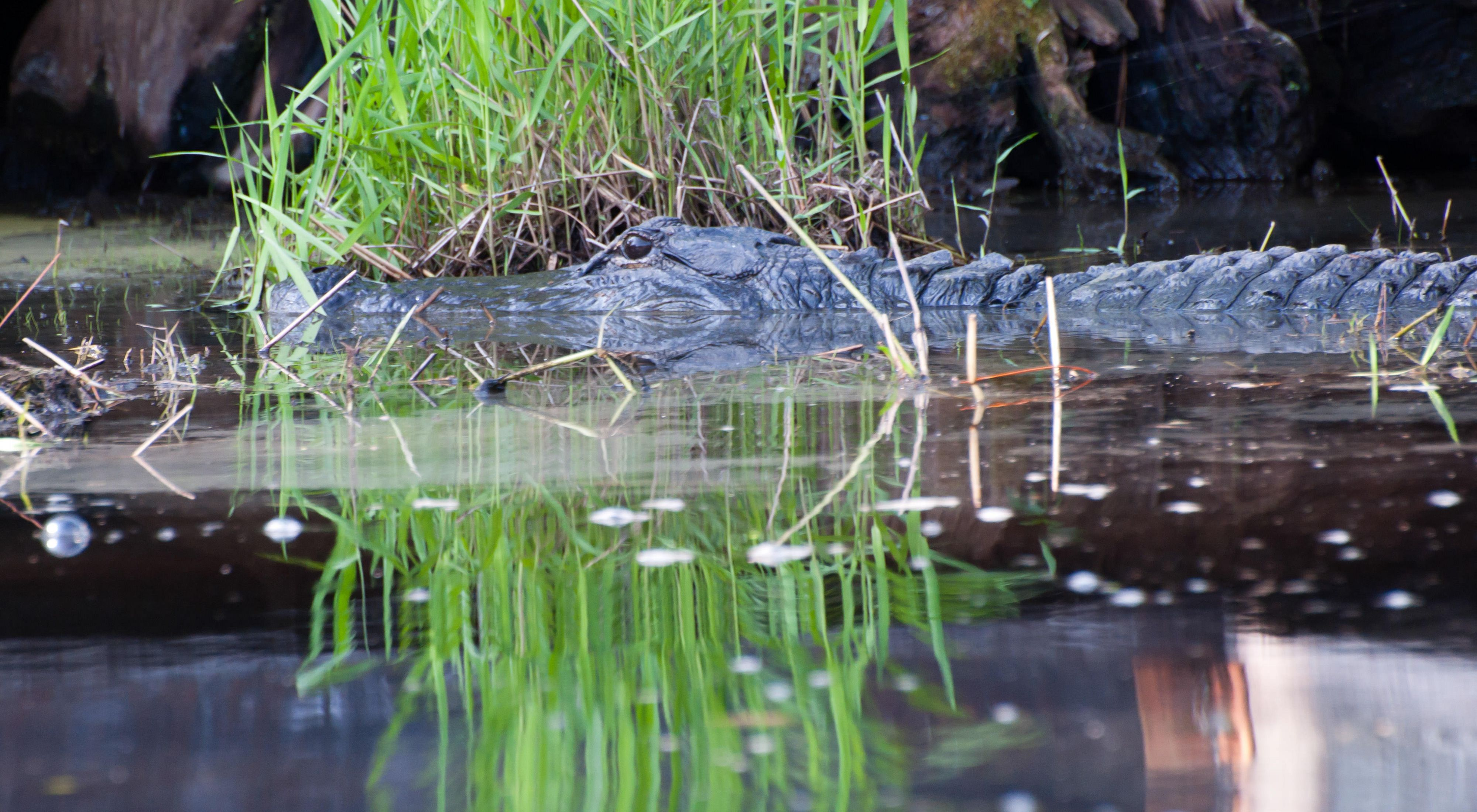 An alligator rests within a swamp at Okefenokee National Wildlife Refuge.