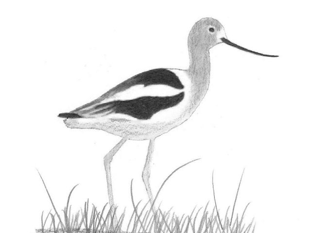 Charcoal drawing of an American avocet