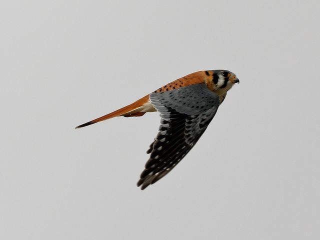 A small hawk with a reddish body and tail and black wings, flying upward at an angle against a light gray sky.