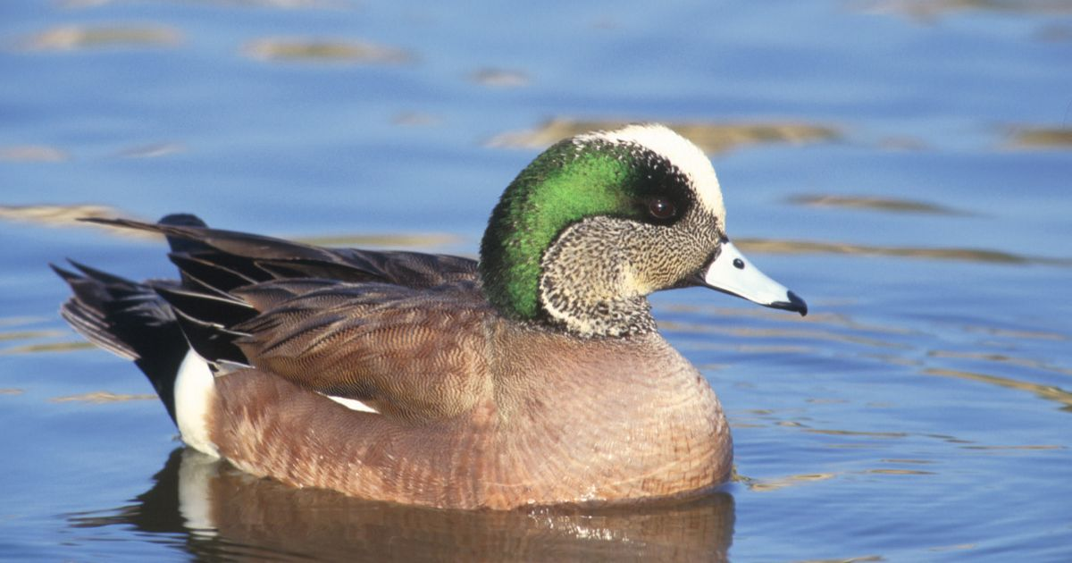 Male american wigeon swimming in calm water. The population of the wigeon declined by approximately 50 percent in the 1980 as a result of extended drought in prairie regions; have made a comeback and are widely hunted during fall.
