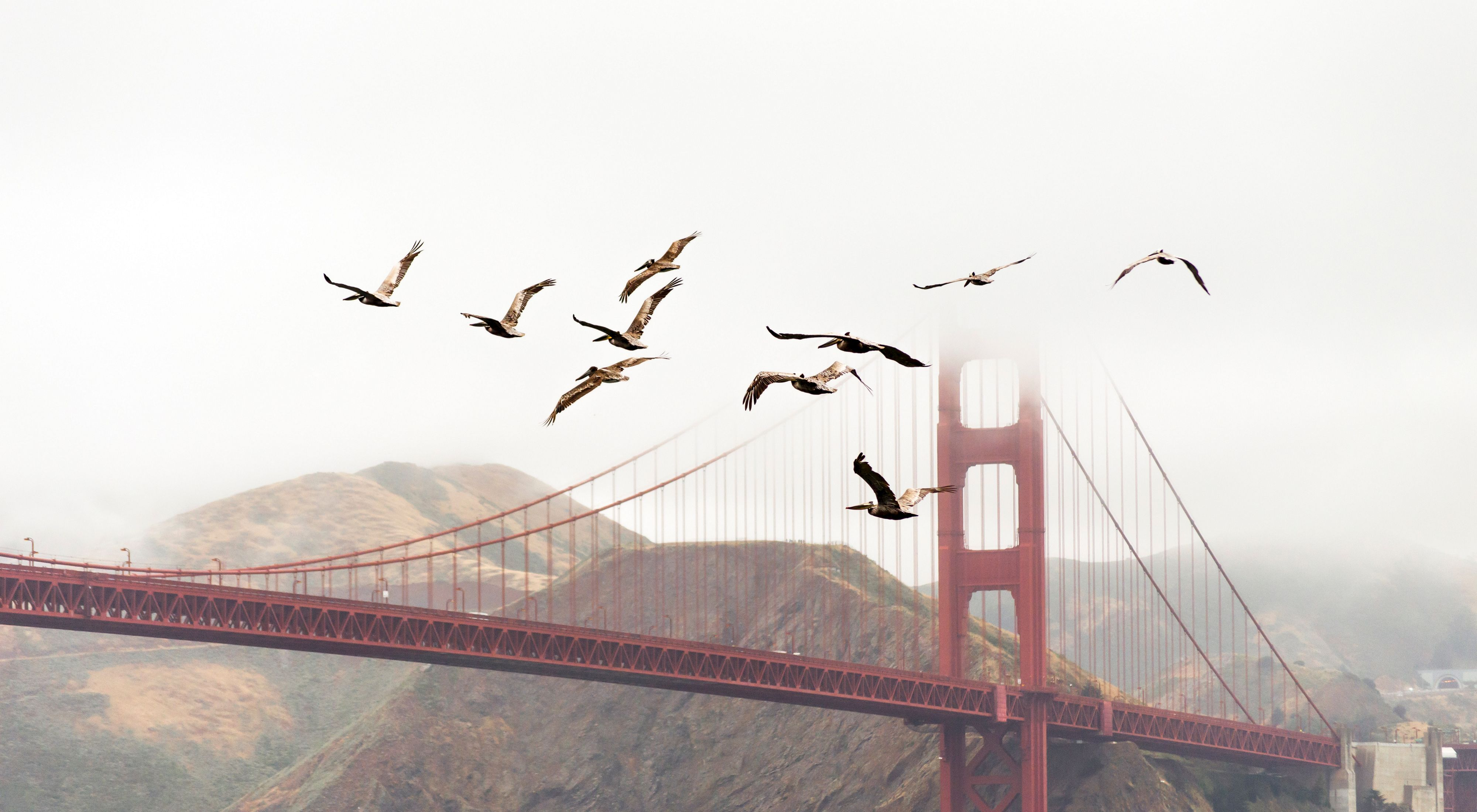 Birds fly past the Golden Gate Bridge