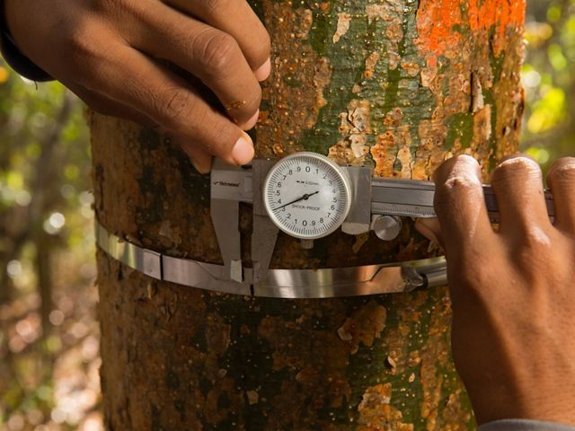 measuring growth of tree trunk and carbon storage with metal ring scale and calipers