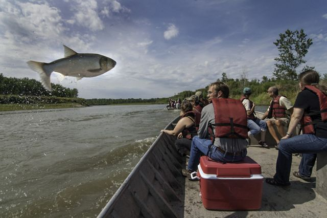 An invasive silver carp is seen jumping out of the Missouri River, a tributary of the Mississippi River.
