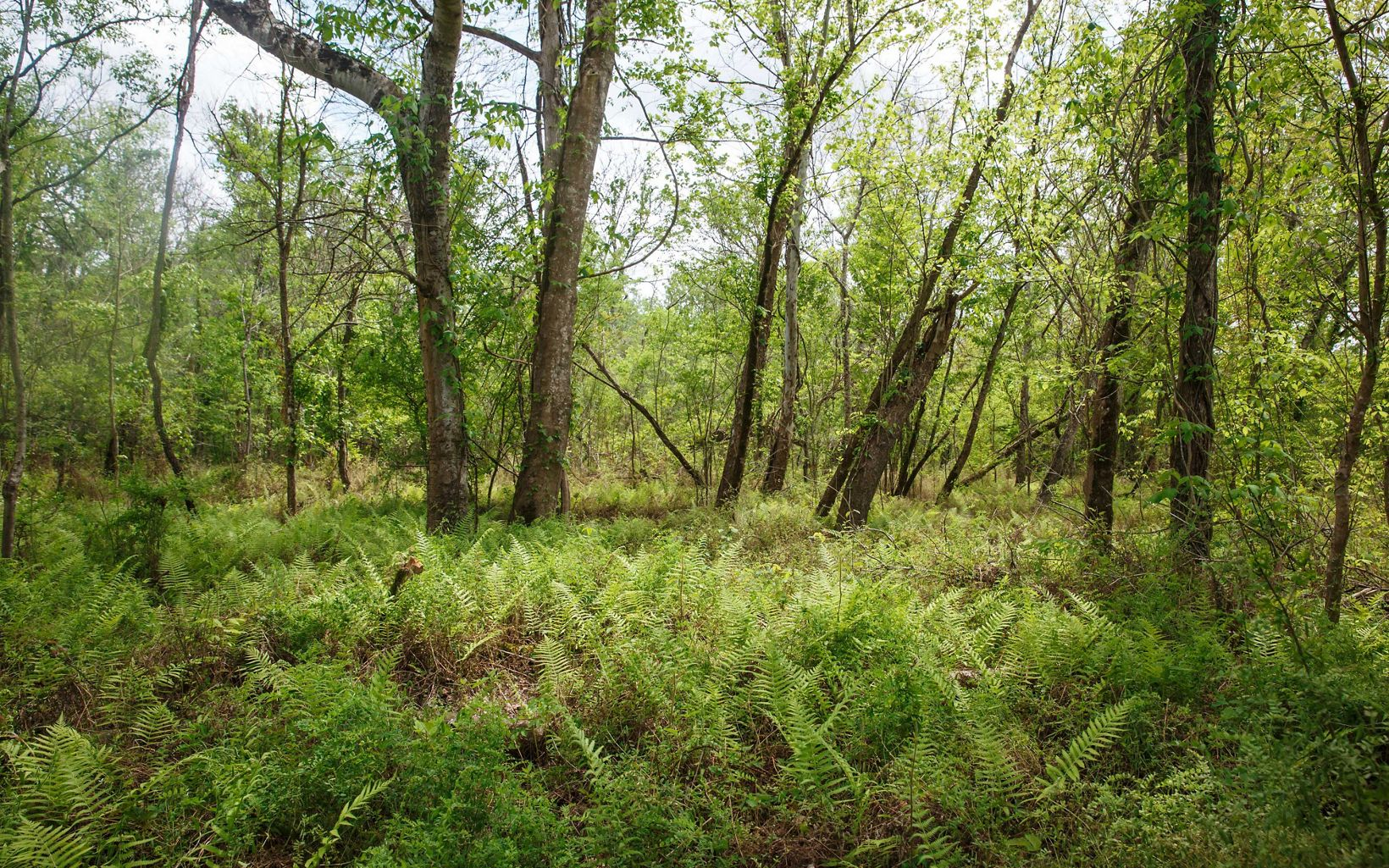 Fern forest in the Atchafalaya
