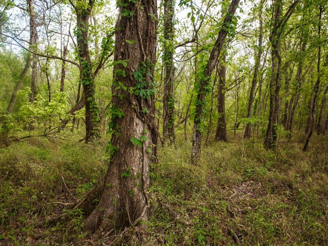 Forest in the Atchafalaya River Basin