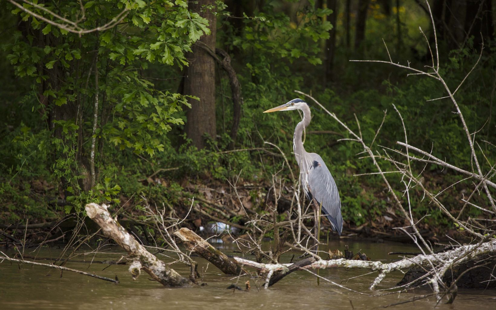 A Great Blue Heron in the Atchafalaya River Basin