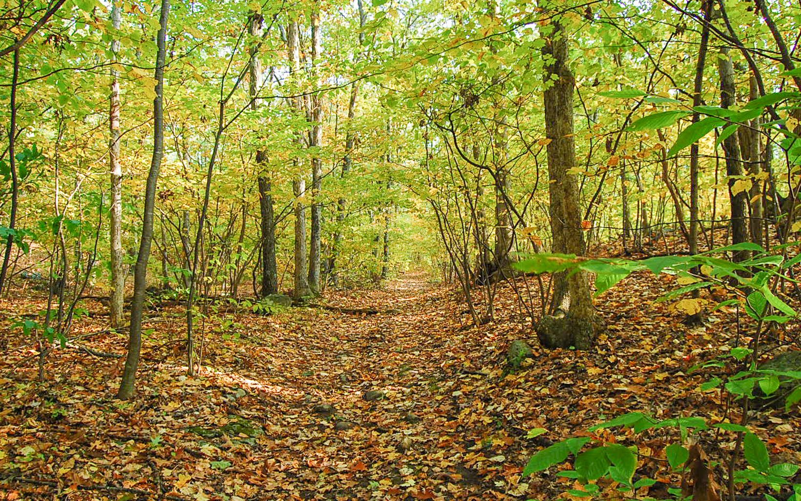 Branches of yellow and green leaves arching over a hiking trail.