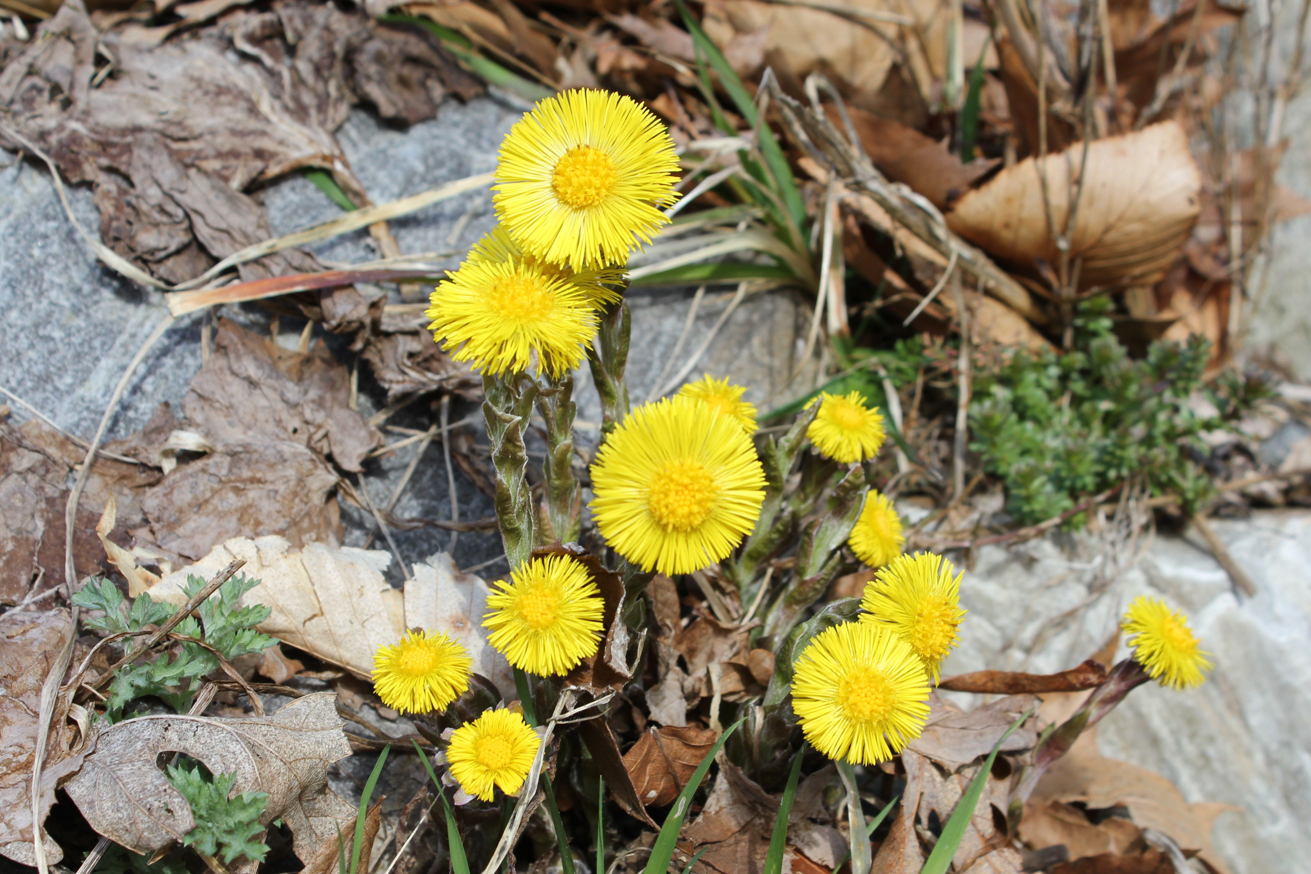 A cluster of wildflowers with yellow centers and tightly packed yellow ray flowers around them.