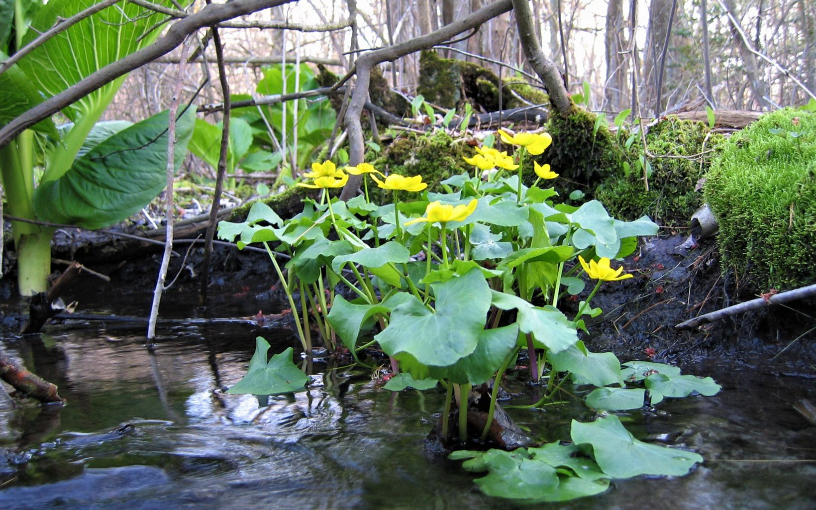 A small green plant with yellow flowers, growing from a streambank.