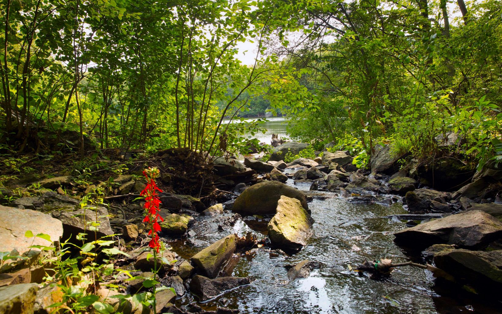 A spike of red flowers, growing next to a rocky stream