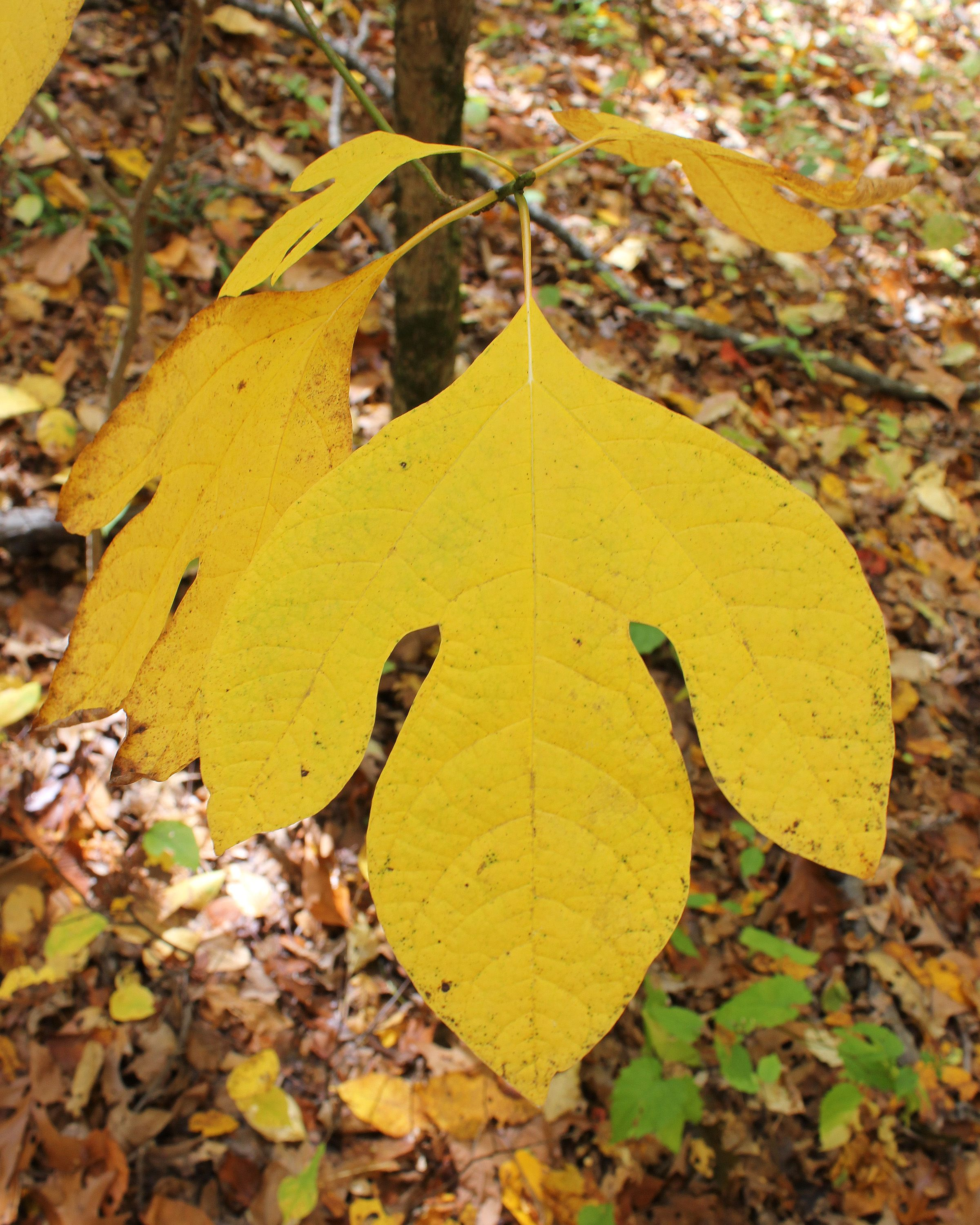A flat, yellow leaf comprised of three equally sized lobes