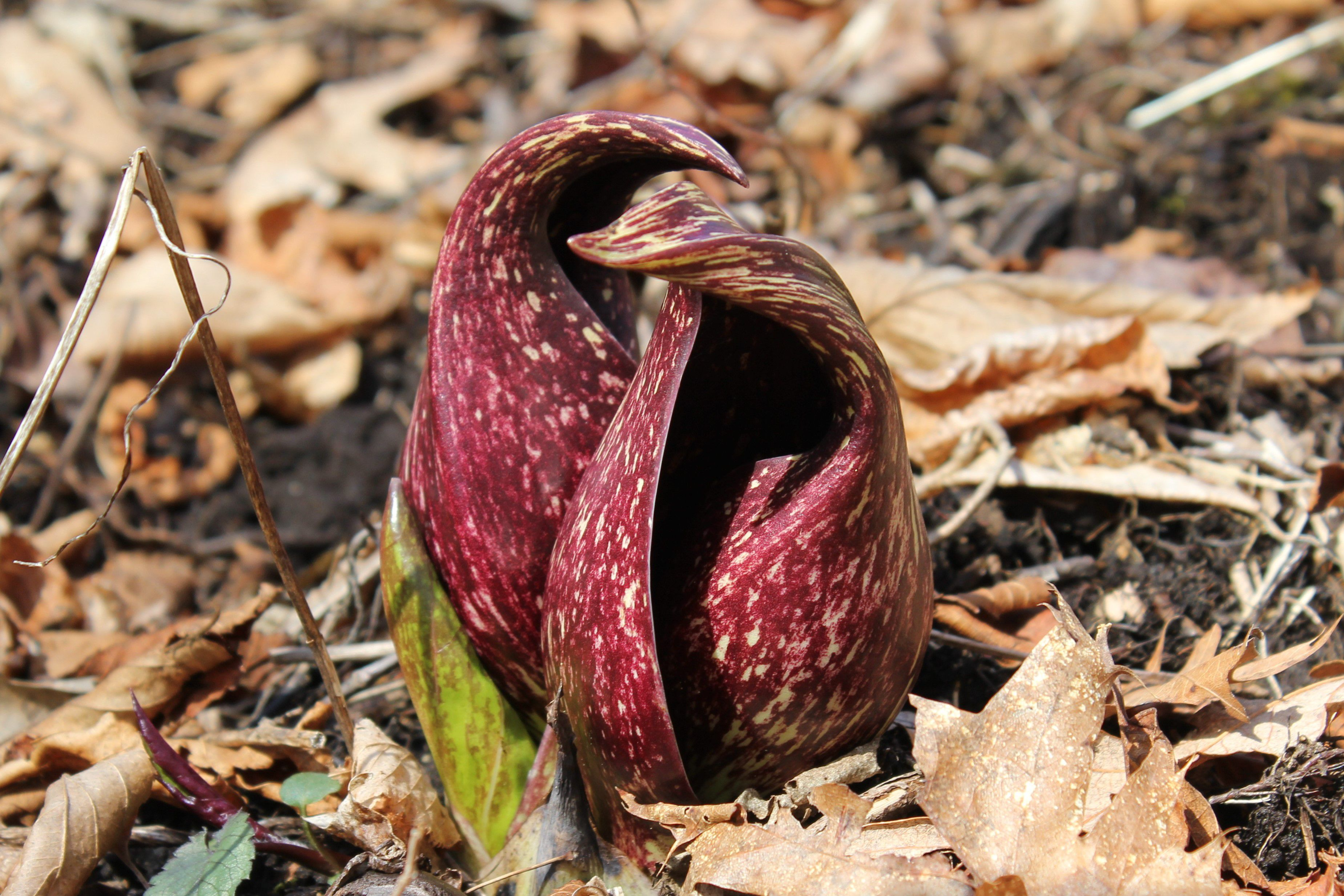 Two skunk cabbage flowers side by side, compromised of a maroon and gold hood, emerging from bare ground..