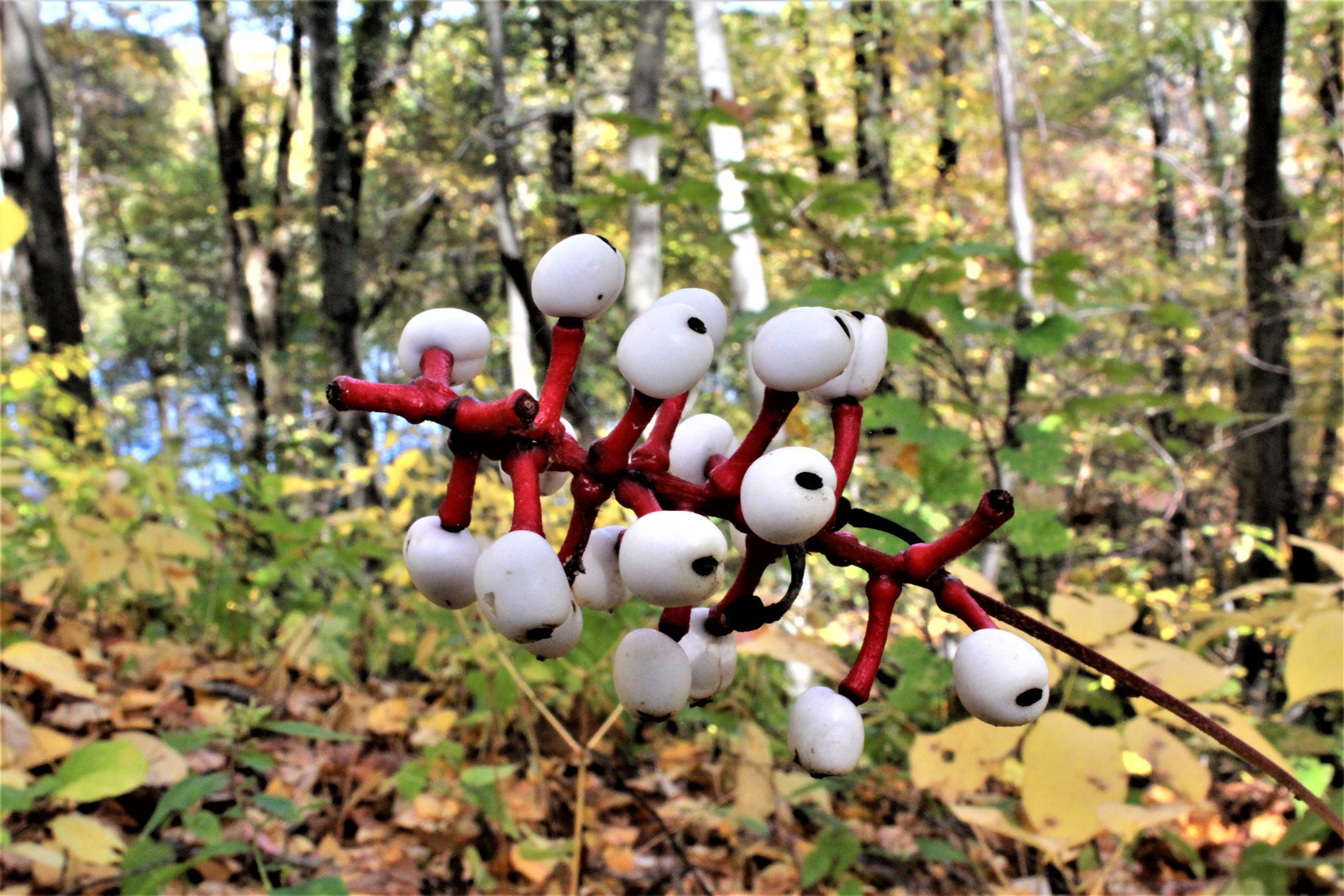 White berries with a black dot in the center, held to a central stem by bright red stalks.