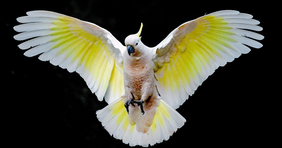 Landing cockatoo