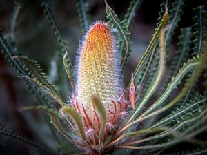 Banksia flower by Kay Cypher