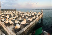 Australasian Gannets at Port Phillip Bay