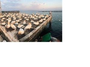 Australasian Gannets at Port Phillip Bay