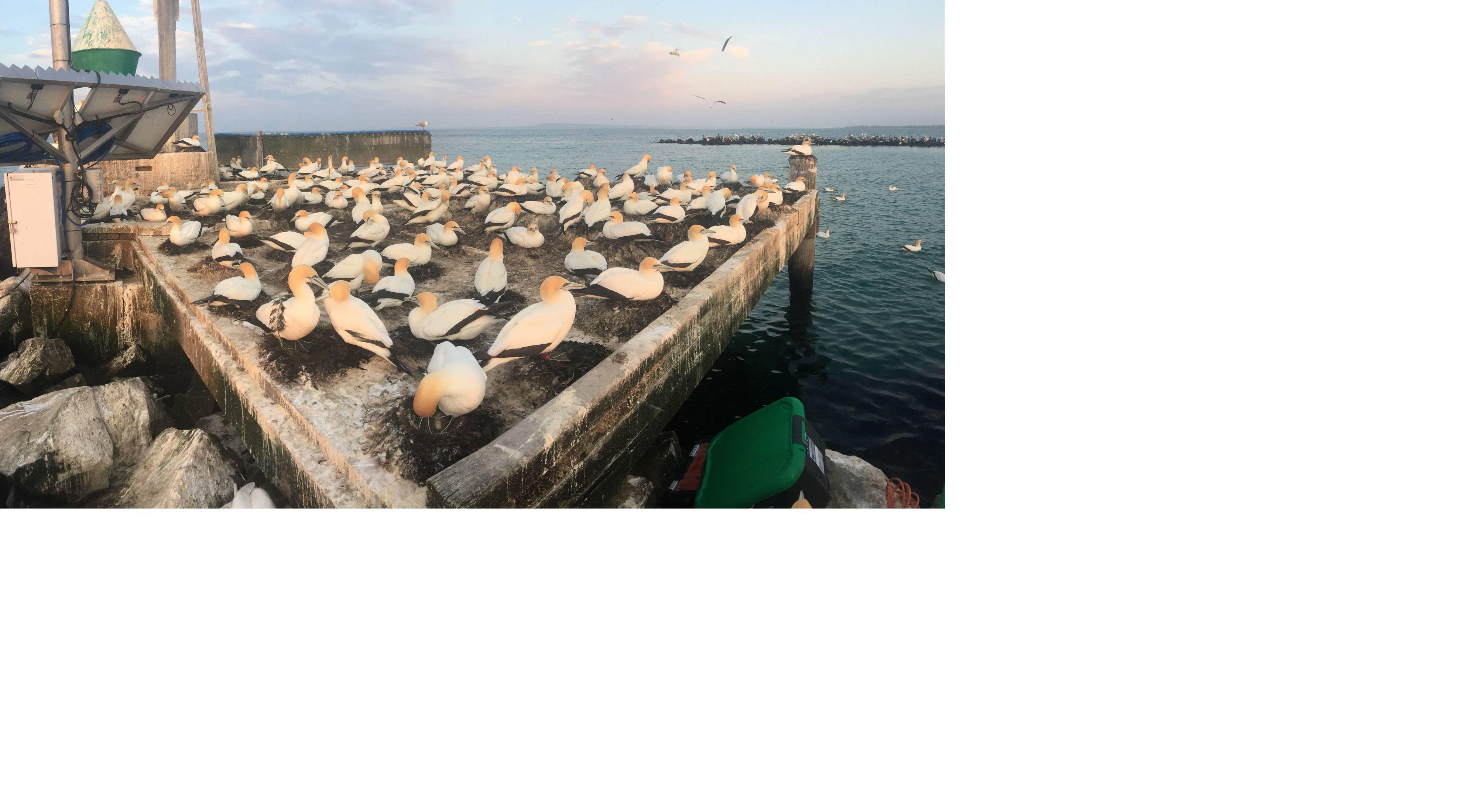 spying on Australasian Gannets
