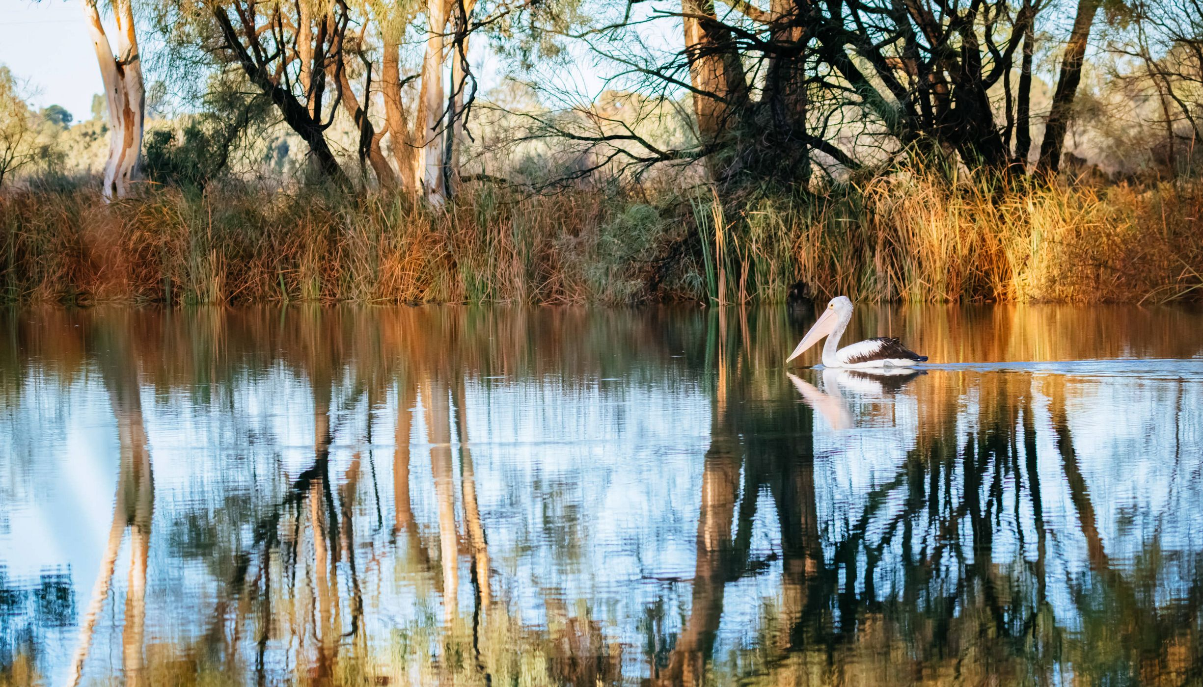 A white pelican in a wetland surrounded by trees