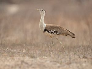 Australian Bustard by JJ Harrison, Wikimedia Commons