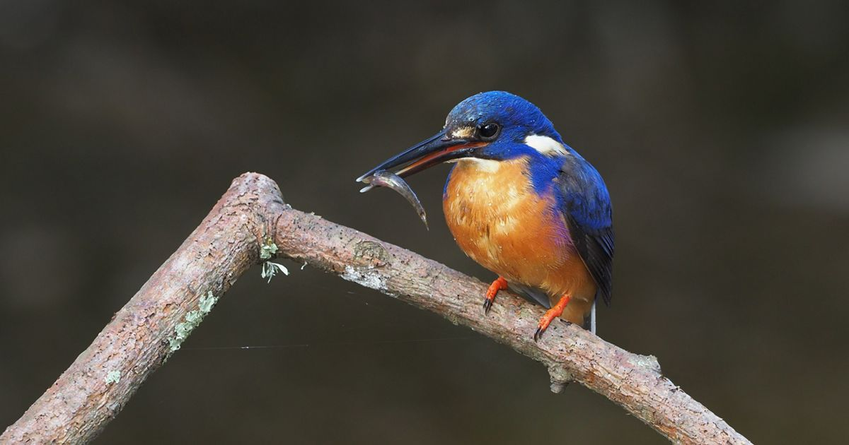 Found across eastern and northern Australia, the Azure Kingfisher is, as its name suggests, and excellent fish catcher.