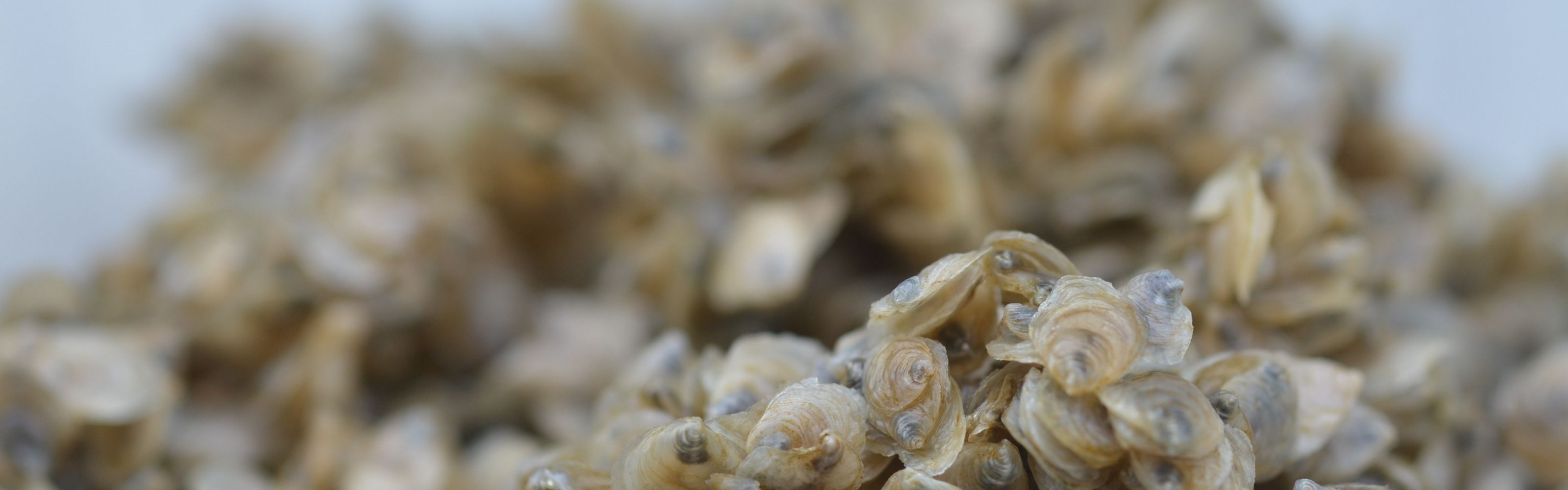 In Australia, we are restoring lost shellfish reefs.