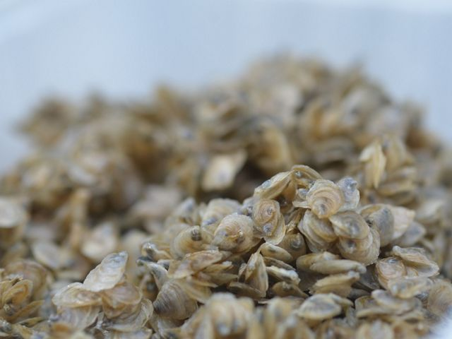 Close-up shot of many baby oysters on an unseen surface
