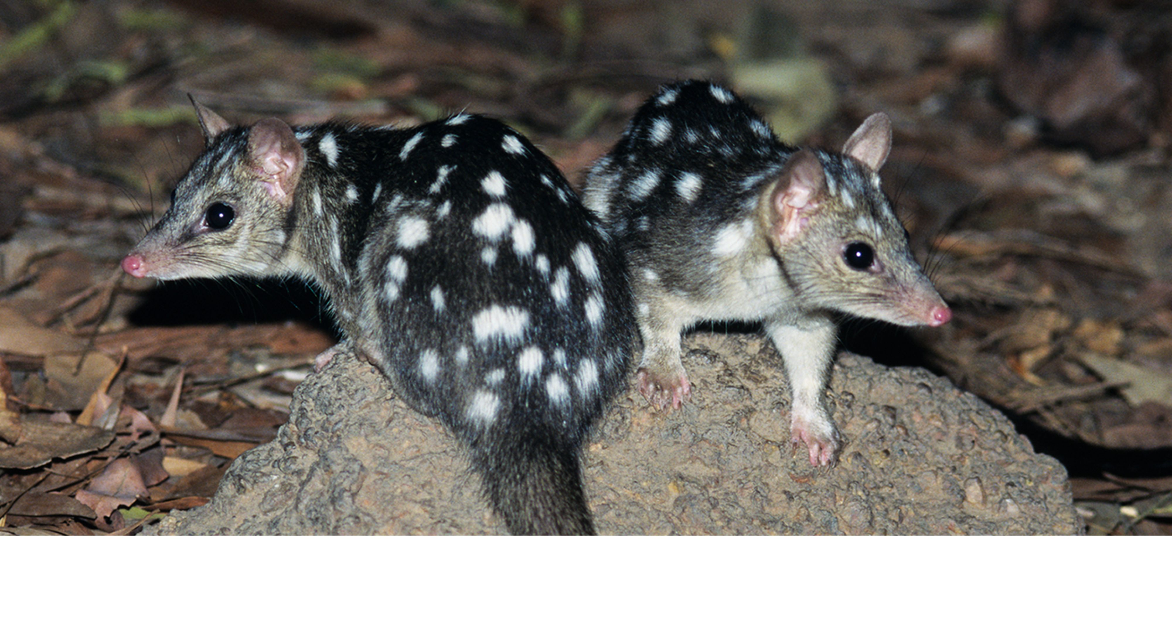 Two Northern Quolls on a rock