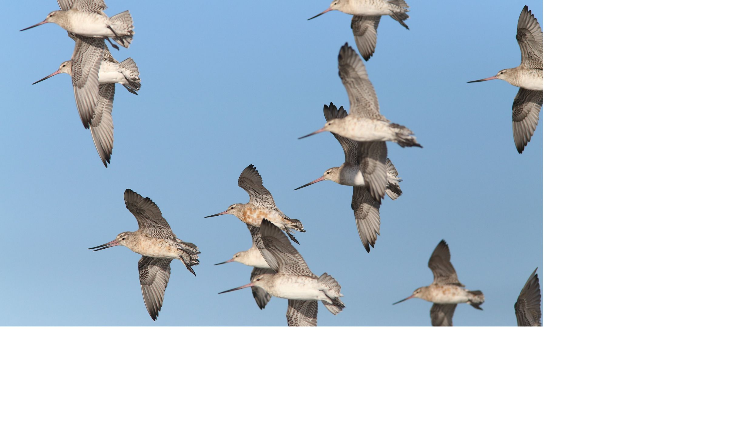 Bar-tailed Godwit birds in flight in a blue sky