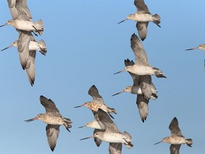 a group of bar-tailed godwits flying together against a light blue sky