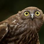 Barking Owl at Fish River Station
