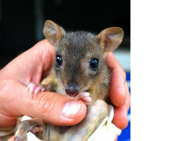also named Brush-tailed Bettong is a critically endangered, rabbit-sized marsupial, only found in Australia
