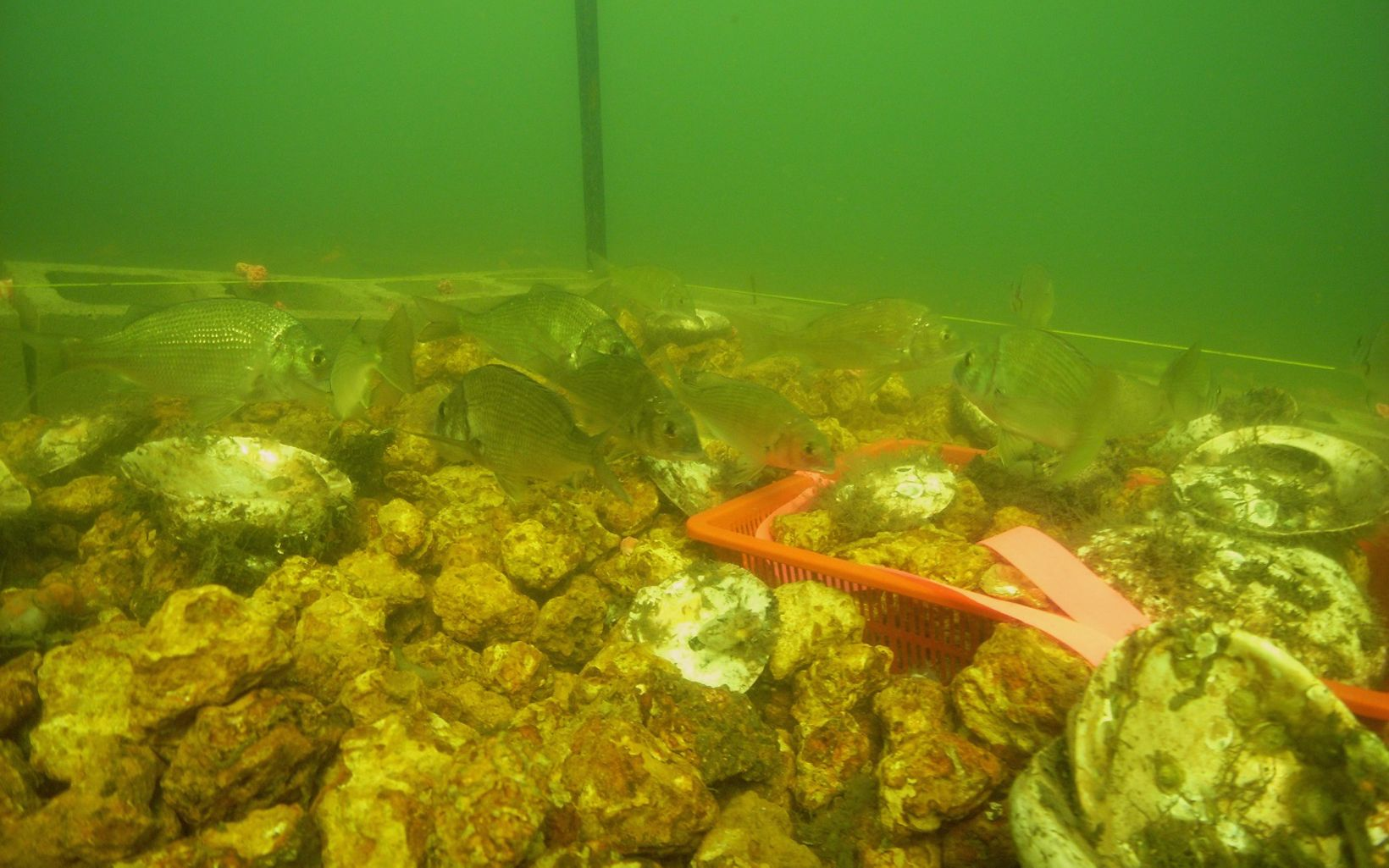 checking out freshly laid oyster reef substrate during testing phase