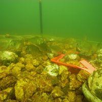 oysters on the ocean floor