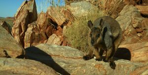 Image of: Exotic Known In The Western Desert As Warru Australian Geographic Australias Endangered Animals