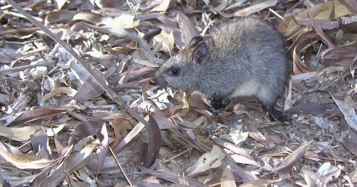 Black-footed Tree Rat