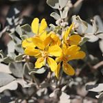 Blunt-leaved Cassia
