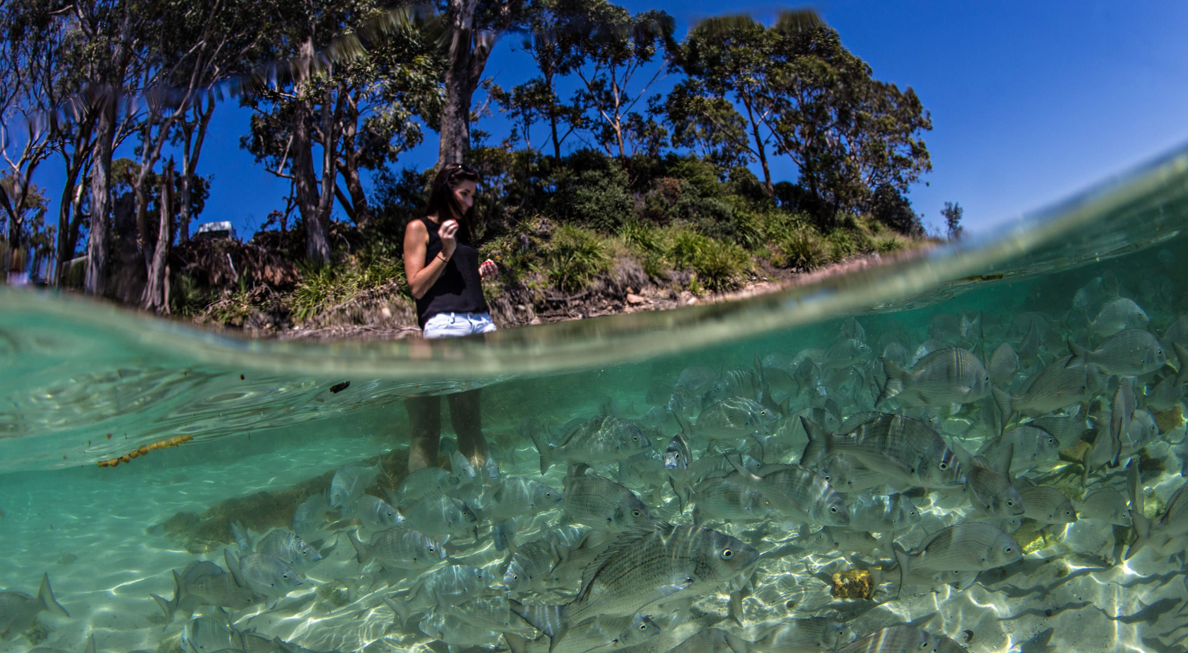feeding at Nelson Bay, NSW