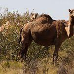 Camel in the Great Sandy Desert