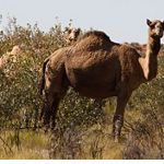 Camel in the Great Sandy Desert
